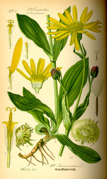 Illustration der arnica montana